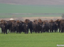Walking bisons: more than fifty individuals appeared 15 kilometers from the city